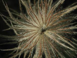 Berg Nelkenwurz Frucht silbrig Geum montanum 04