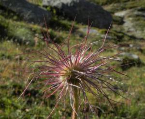 Berg Nelkenwurz Samen silbrig Geum montanum 06