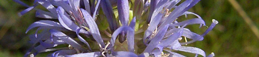 Anklicken um das ganze Bild zu sehen Berg-Sandglöckchen Blüte blau Jasione montana