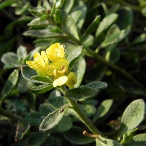 Bild: Berg Steinkraut Bluete gelb Alyssum montanum
