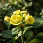 Bild: Berg-Steinkraut Blüte gelb Alyssum montanum