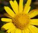 Zurück zum kompletten Bilderset Bergwohlverleih Arnika Kraut Blüte gelb Arnica montana