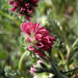 Berg Wundklee Bluete rot Anthyllis montana 02