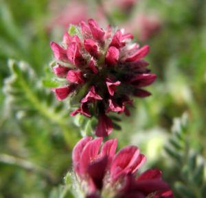 Berg Wundklee Bluete rot Anthyllis montana 03