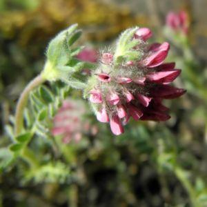 Berg Wundklee Bluete rot Anthyllis montana 05