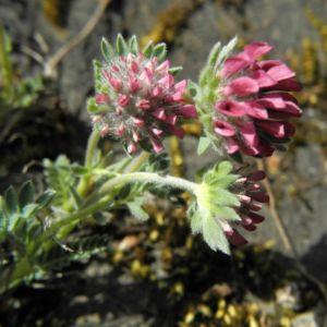 Berg Wundklee Bluete rot Anthyllis montana 06