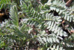 Berg Wundklee Bluete rot Anthyllis montana 08