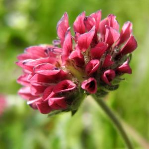 Berg-Wundklee Blüte rot Anthyllis montana