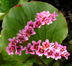 Bergenie Steinbrech Bluete rose Bergenia cordifolia 01