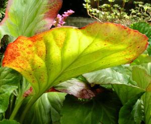 Bergenie Steinbrech Bluete rose Bergenia cordifolia 02