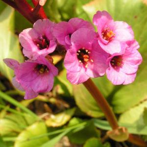 Bergenie Steinbrech Bluete rose Bergenia cordifolia 05