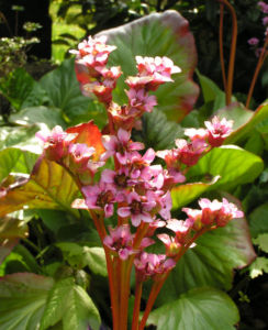 Bergenie Steinbrech Bluete rose Bergenia cordifolia 07