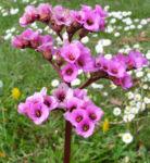 Bergenie Steinbrech Bluete rose Bergenia cordifolia 09