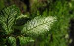 Bergulme Blatt gruen Ulmus glabra 05
