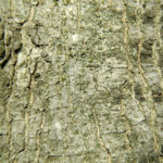 Bergulme Rinde grau Ulmus glabra 02