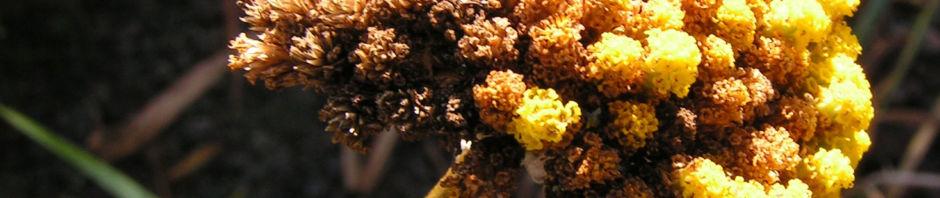 bertramsgarbe-samendolde-braun-achillea-clypeolata