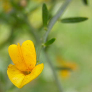 Besen Ginster Bluete gelb Cytisus scoparius Sarothamnus scoparius 04