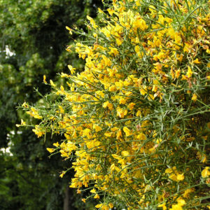 Besen Ginster Bluete gelb Cytisus scoparius Sarothamnus scoparius 05