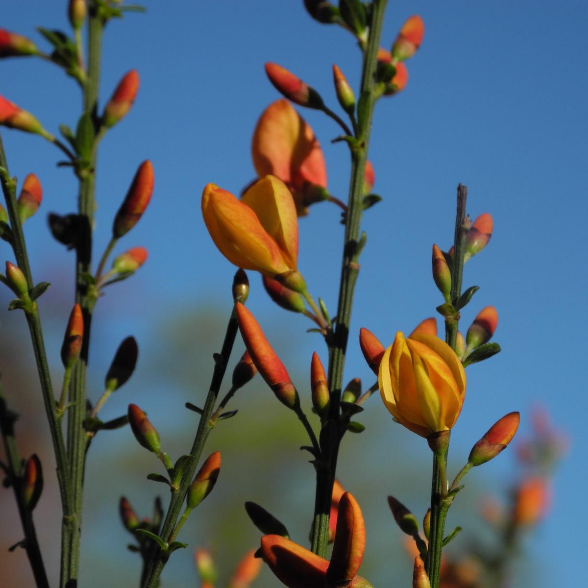 Besenginster Bluete gelb orange Cytisus scoparius