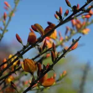 Besenginster Bluete gelb orange Cytisus scoparius 22