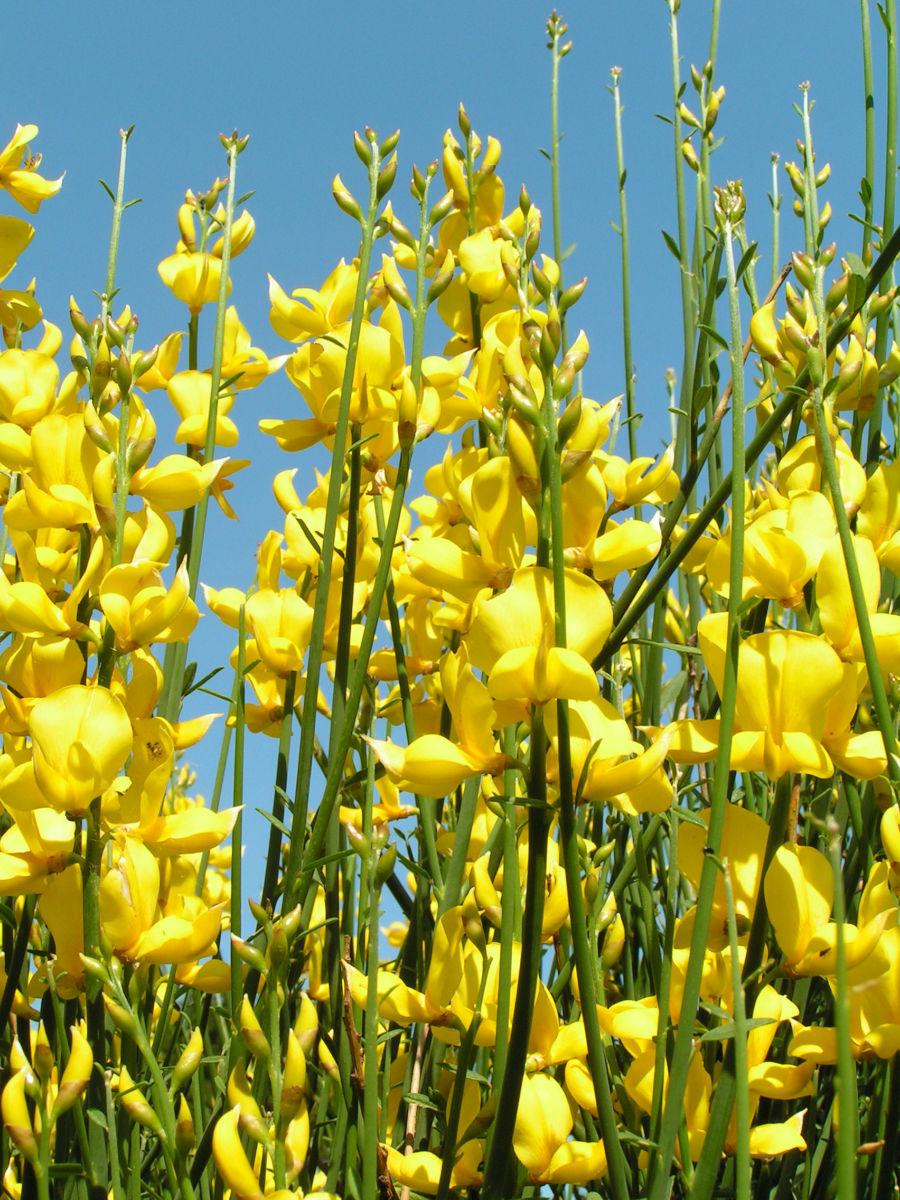 Besenginster Bluete gelb Spartium junceum