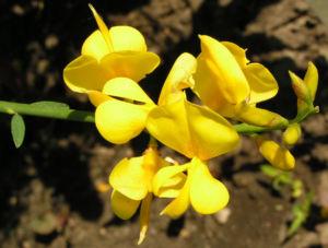 Besenginster Bluete gelb Spartium junceum 03