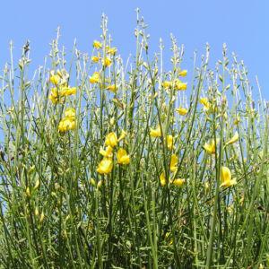 Besenginster Bluete gelb Spartium junceum 04