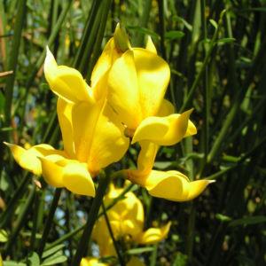 Besenginster Bluete gelb Spartium junceum 05
