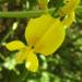 Zurück zum kompletten Bilderset Besenginster Blüte gelb Cytisus scoparius