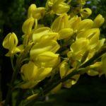 Besenginster gelbe Bluete Spartium junceum 01
