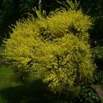 Besenginster gelbe Bluete Spartium junceum 04