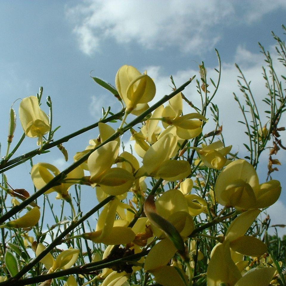 Besenginster gewoehnlicher Bluete gelb Cytisus scoparius