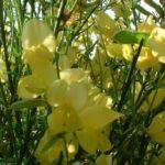 Besenginster gewoehnlicher Bluete gelb Cytisus scoparius 02