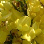 Besenginster gewoehnlicher Bluete gelb Cytisus scoparius 03