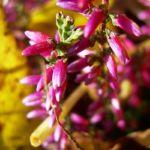 Besenheide Heidekraut Calluna vulgaris 01