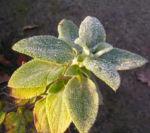 Betonie Ziest Blatt gruen Samenstand braun Stachys cretica 01