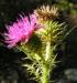 Zurück zum kompletten Bilderset Bewehrte Distel Blüte pink Carduus tmoleus