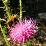 Bewehrte Distel Bluete pink Carduus tmoleus 04