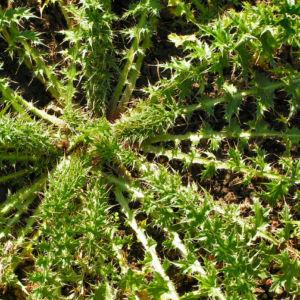 Bewehrte Distel Bluete pink Carduus tmoleus 06
