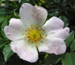 Bibernell Rose Bluete weiss Rosa piminellifolia 01