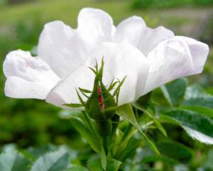 Bibernell Rose Bluete weiss Rosa piminellifolia 02