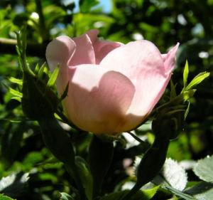Bibernell Rose Bluete weiss Rosa piminellifolia 07
