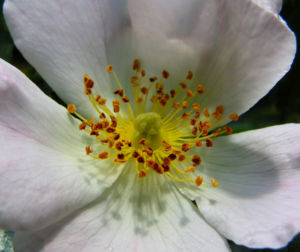 Bibernell Rose Bluete weiss Rosa piminellifolia 08