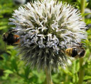 Bienen Kugeldistel Bluete weisslich Echinops sphaerocephalus 03
