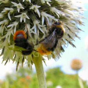 Bienen Kugeldistel Bluete weisslich Echinops sphaerocephalus 04