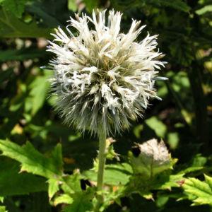 Bienen Kugeldistel Bluete weisslich Echinops sphaerocephalus 06