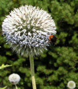 Bienen Kugeldistel Bluete weisslich Echinops sphaerocephalus 08