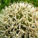 Zurück zum kompletten Bilderset Drüsenblättrige Kugeldistel Blüte weißlich Echinops sphaerocephalus