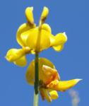 Binsen Ginster Bluete gelb Spartium junceum 02