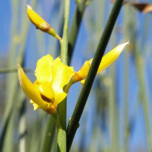 Binsen Ginster Bluete gelb Spartium junceum 03
